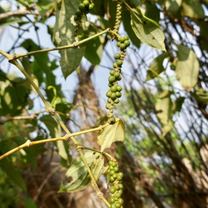 Plantation Sothy - Kep